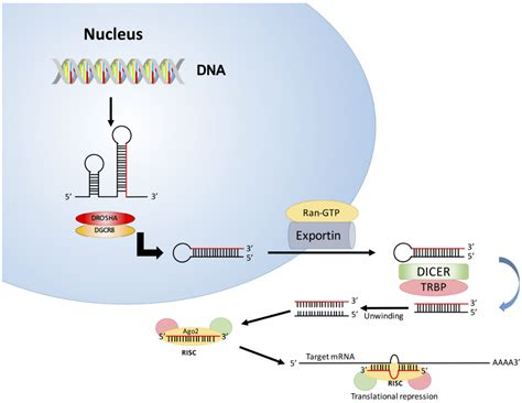 Diseases   Free Full-Text   Targeting MicroRNA in Cancer