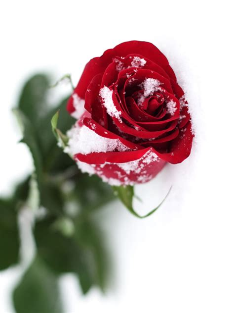 Red Rose with Snow Effect