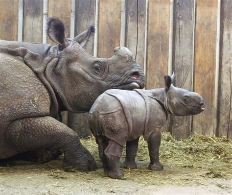 First Indian Rhino Baby Born in Poland at Warsaw Zoo