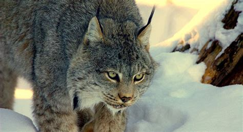 Basic Facts About Canada Lynx | Defenders of Wildlife