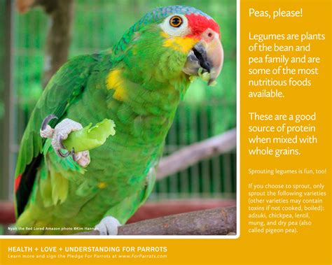 Peas (and Beans) Add Protein for Parrots! | For Parrots