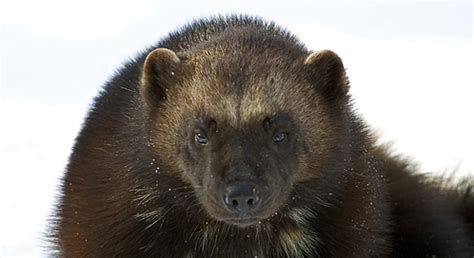Wolverine | Basic Facts About Wolverines | Defenders of