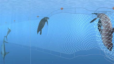 Save the vaquita by stopping illegal trade of totoaba